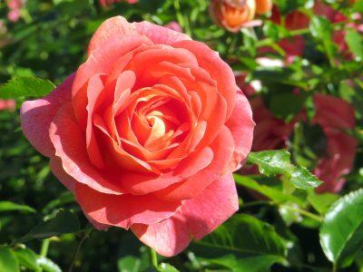 October-Rose-1