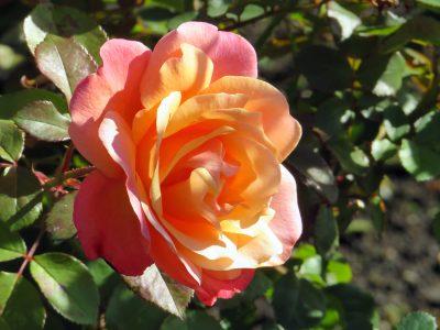 October-Rose-2