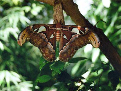 Atlas-Moth-Victoria