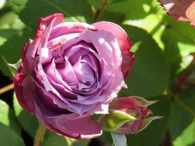 October-Rose-3